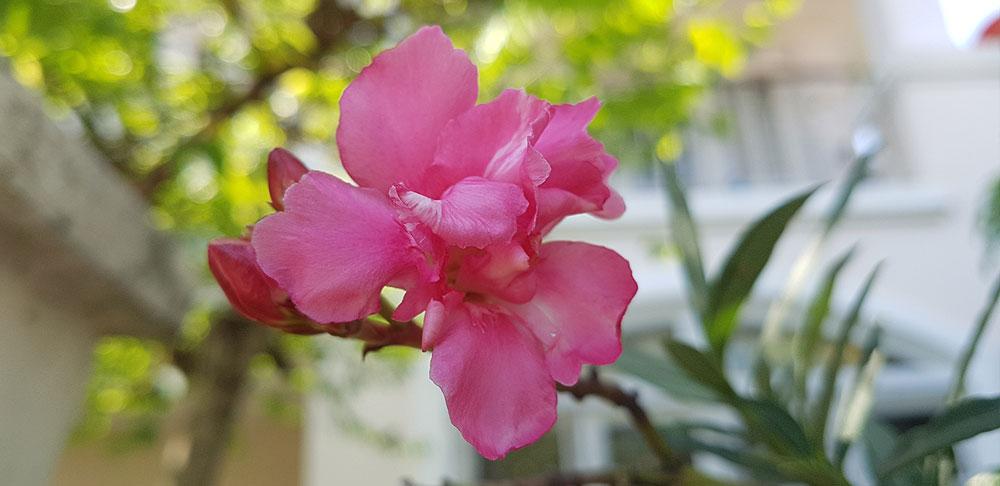 ดอกยี่โถสีชมพู