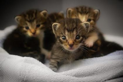 Perhatikan Cara merawat Anak Kucing yang baru Lahir agar tidak Mati