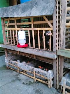Pembuatan dan Lokasi Kandang Ternak ayam  Kabar Terbaru- PEMBUATAN DAN LOKASI KANDANG TERNAK AYAM