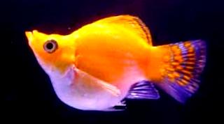 Tentang jenis ikan molly marble