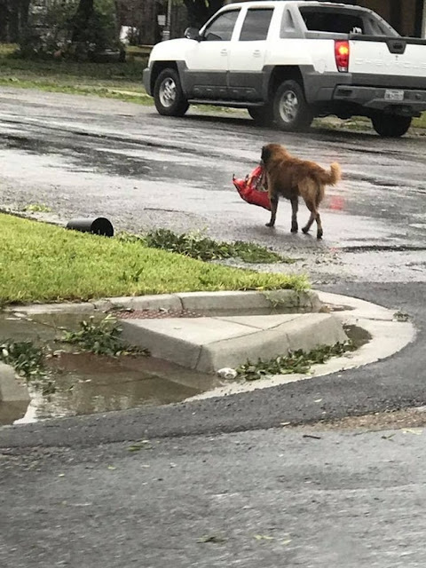 Dog carrying food after Hurricane Harvey