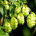 Hops for Digestion, Nervousness, Insomnia and Menopause