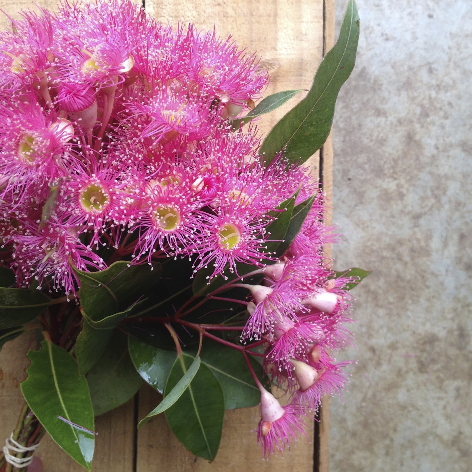 Swallows nest farm march flowers bright pink corymbia ficifolia flowering gum in a range of red pink and orange mightylinksfo