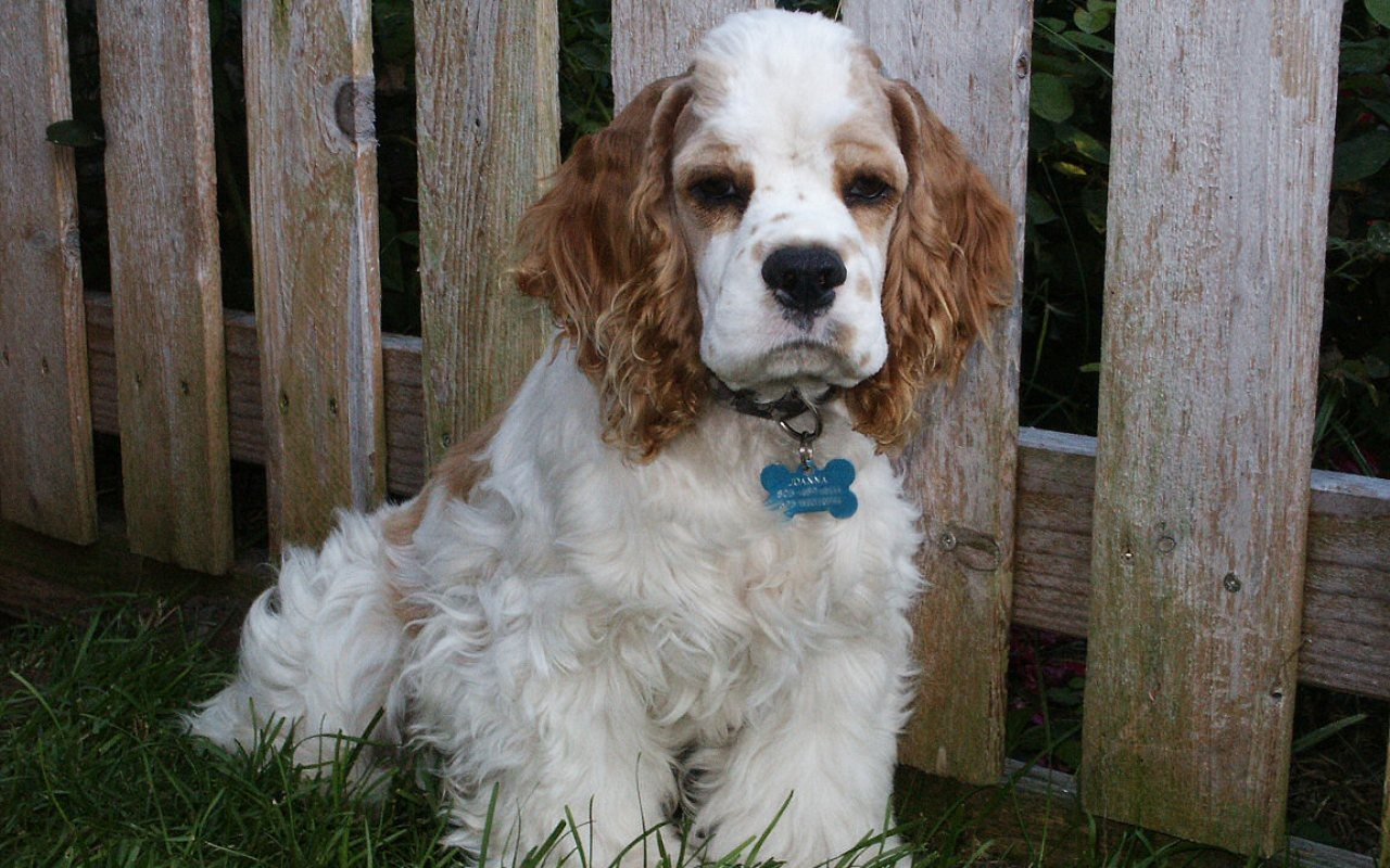 Clumber Spaniel The Dog In World Clumber Spaniel Dogs