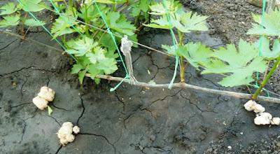 грибы на винограднике