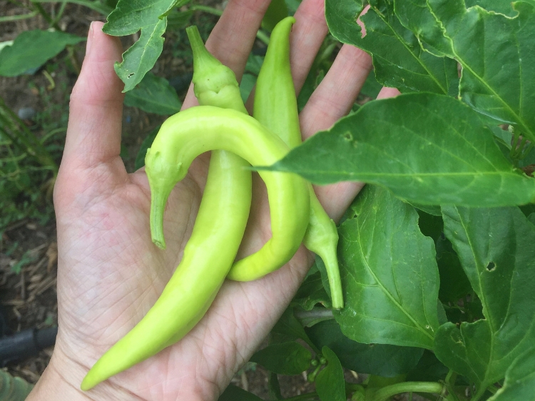 freshly picked banana peppers // How to Grow Peppers // www.thejoyblog.net