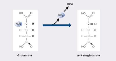 Deaminasi asam amino