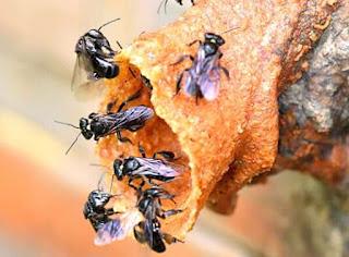 Budidaya lebah madu klanceng