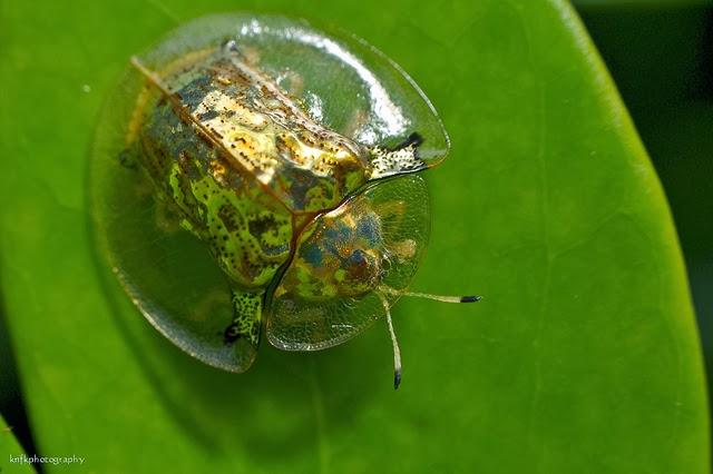kumbang transparan