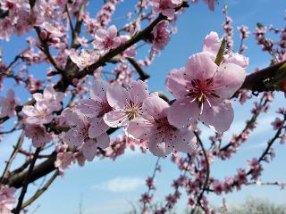 Przepis Wino z kwiatu brzoskwini