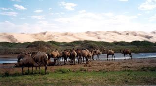 Troupeau de chamelles dans les steppes et le désert de Mongolie. Libre de droit