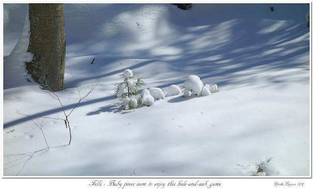 Fells: Baby pines seem to enjoy this hide-and-seek game