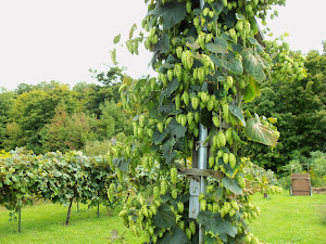 August Hops on a Whizbang Hops Trellis Pole