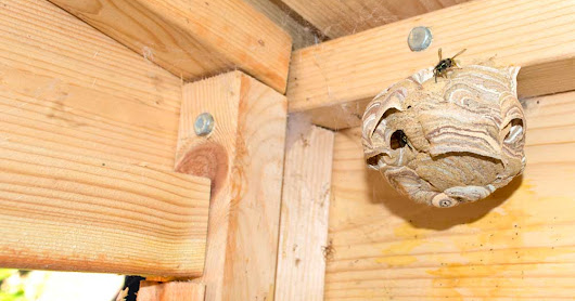 Wasps Nest In Shed