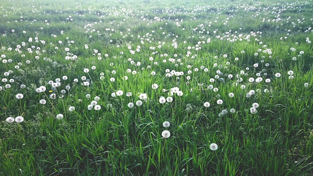 sie robi-łąka trawa dmuchawce maj