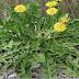 Всего 1 лист этого растения может спасти вашу жизнь! оно растет почти в каждом саду, но лишь немногие знают, как им пользоваться!