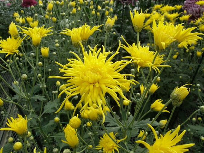 Chrysanthemum x morifolium 'Cisco'