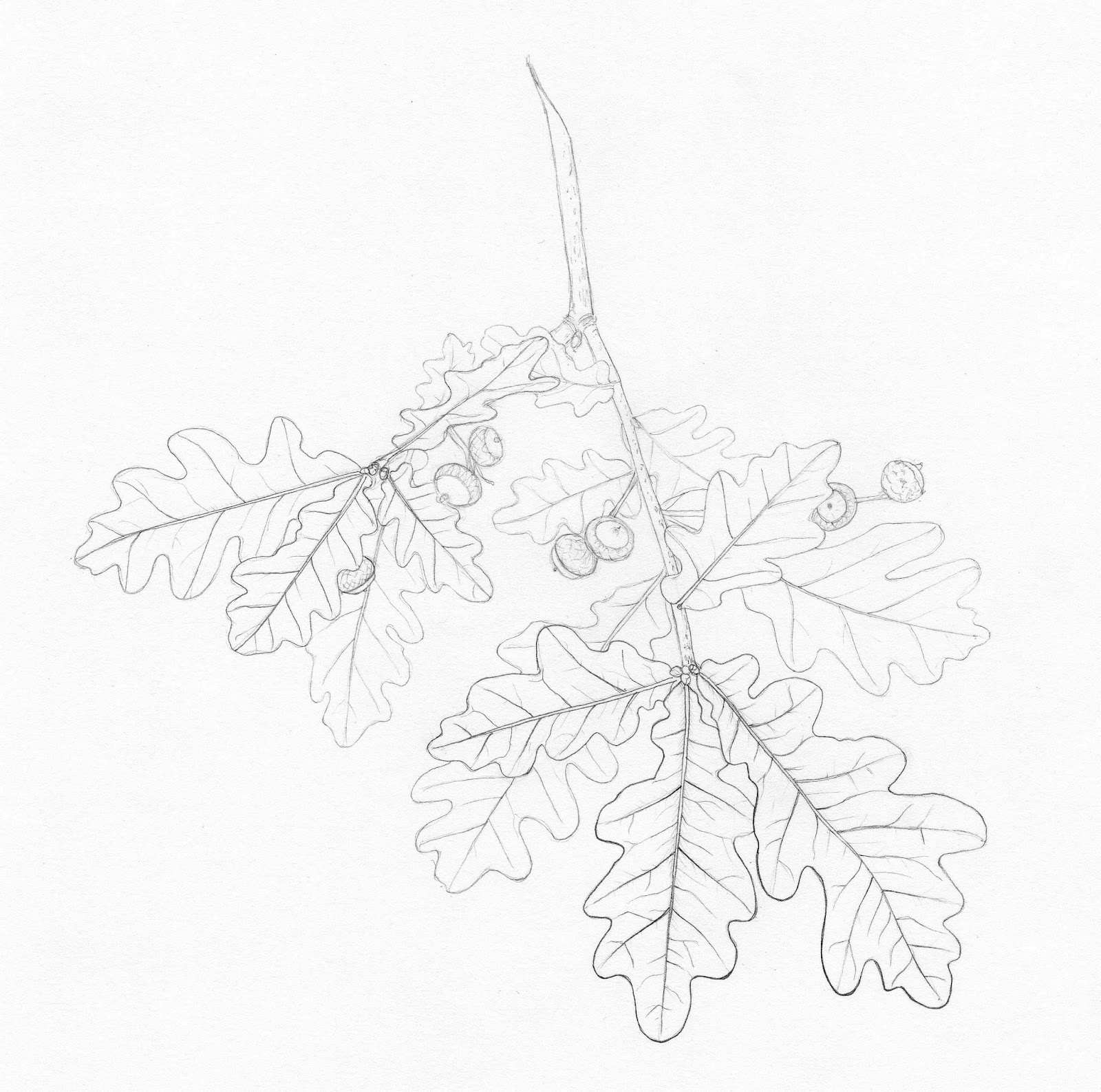 Drawings Of Botanical Things Pedunculate Oak