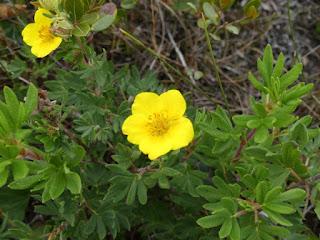 Potentille ligneuse - Dasiphora fruticosa - Potentille arbustive - Potentilla fruticosa