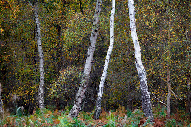 Holme Fen woodland is home to the largest collection of silver birch in the UK
