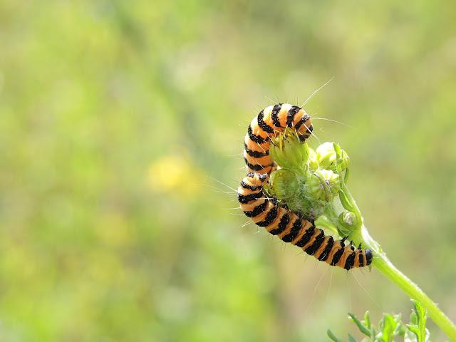 zebrarups van de sint-jacobsvlinder