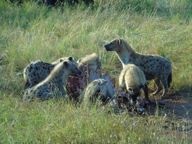 pack hyenas hunting