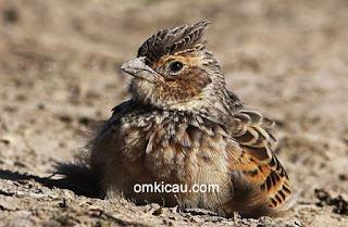Burung Branjangan - Manfaat Mandi Secara Teratur Bagi Burung Branjangan