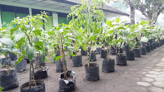 Hasil Produk Pertanian Terong WBS Bina Karya