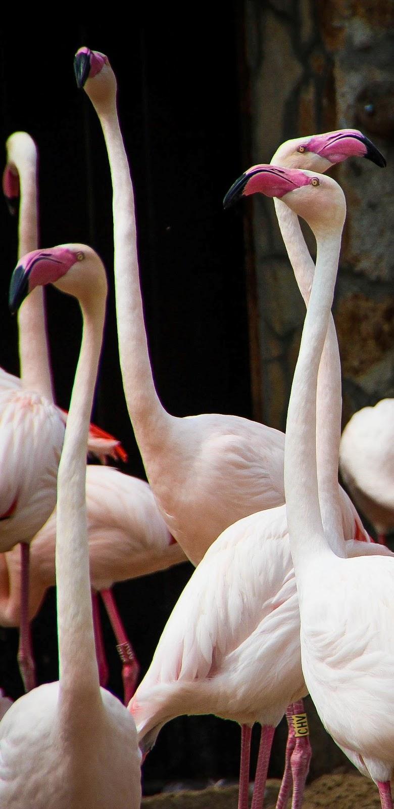 Group of white flamingos.