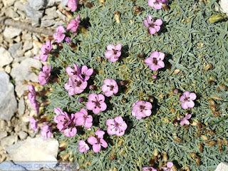 Oeillet à tiges courtes - Dianthus subacaulis