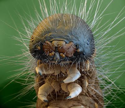 La testa di un bruco ingrandita decine di migliaia di volte. I peli che ricoprono la superficie del loro esoscheletro, detto anche tegumento svolgono funzioni sensoriali oppure di rivestimento e protezione e, in alcune specie, sono urticanti.