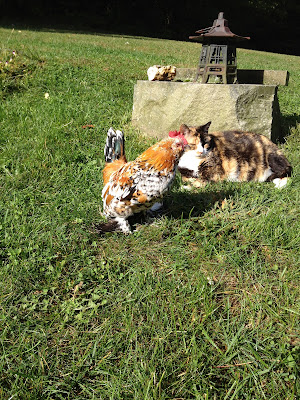 calico cat and bantam rooster