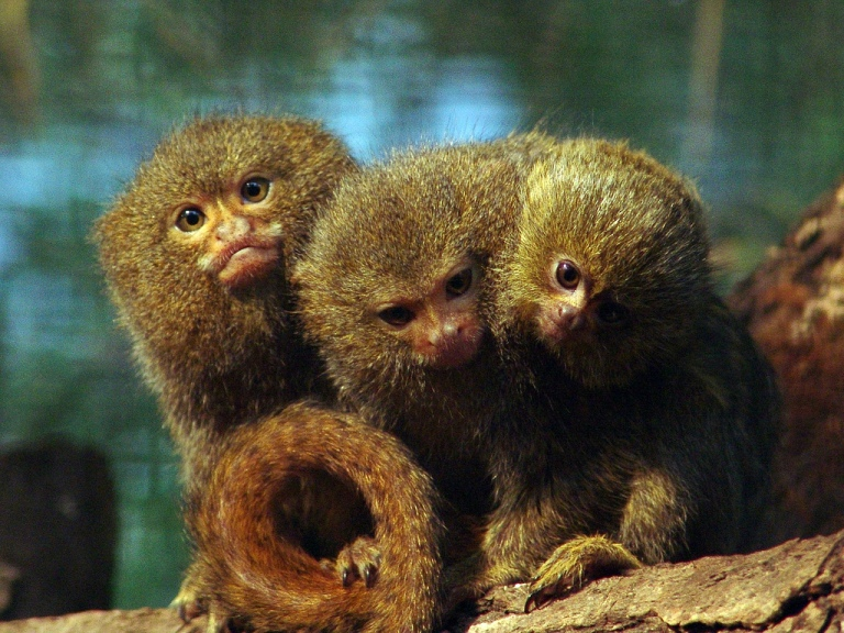 The scientific name is Callithrix pygmaea, but commonly known as the pygmy  marmoset or pocket monkeys. In their adult stage can reach a length between  14 ...