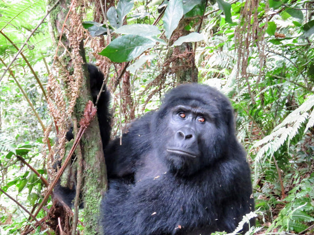 Black back gorilla from the Nkuringo Family in Uganda