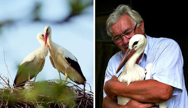This Stork Has Been Flying 13,000 Km Every Year For Sixteen Years To Examine His Disabled Soulmate