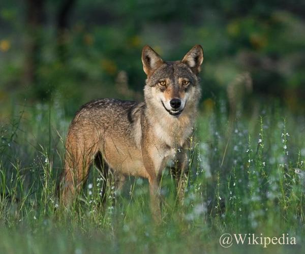 Canis lupus pallipes atau Indian wolf