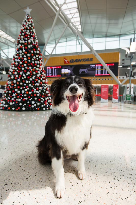 Qantas Partners With Mad Paws Pet Minding Service Australian Dog Lover