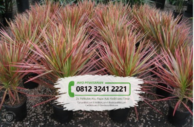 Jual Bibit Bunga Tri Color
