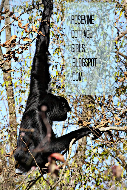 Image of a Gibbon at the Nashville Zoo by rosevinecottgegirls.com