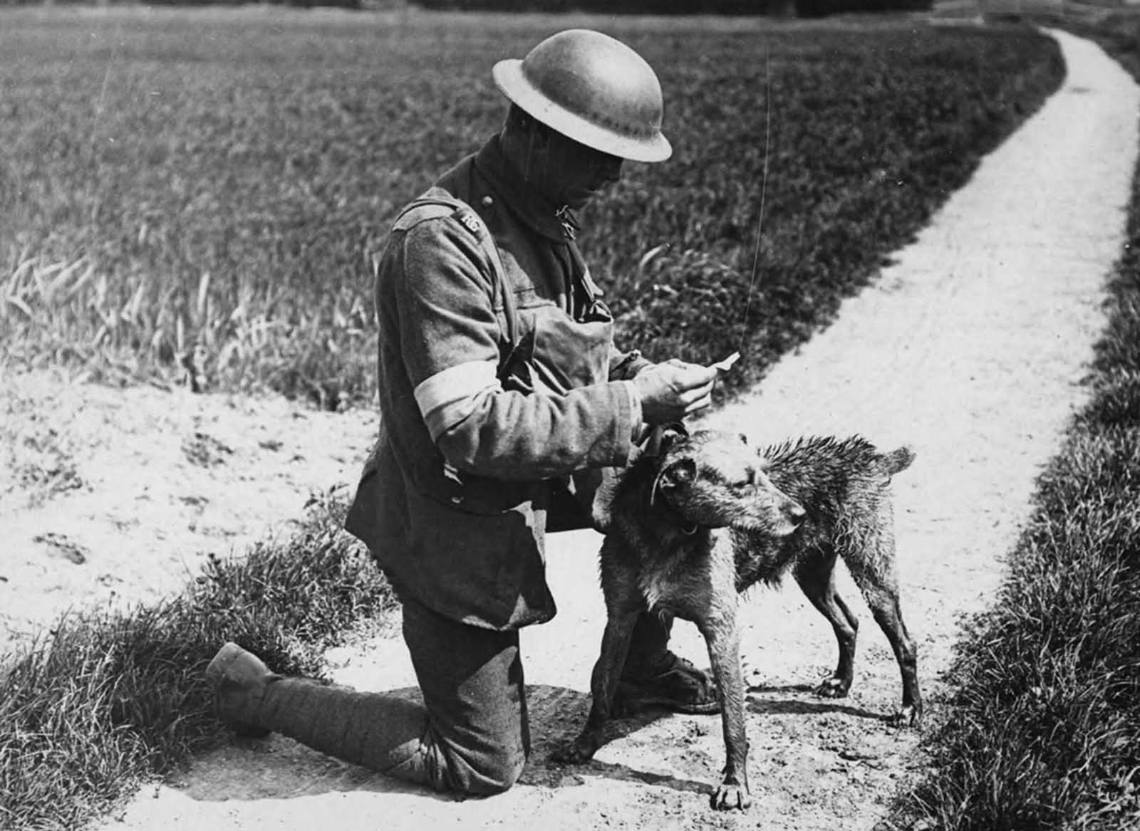 A dog-handler reads a message brought by a messenger dog, who had just swum across a canal in France, during World War I.