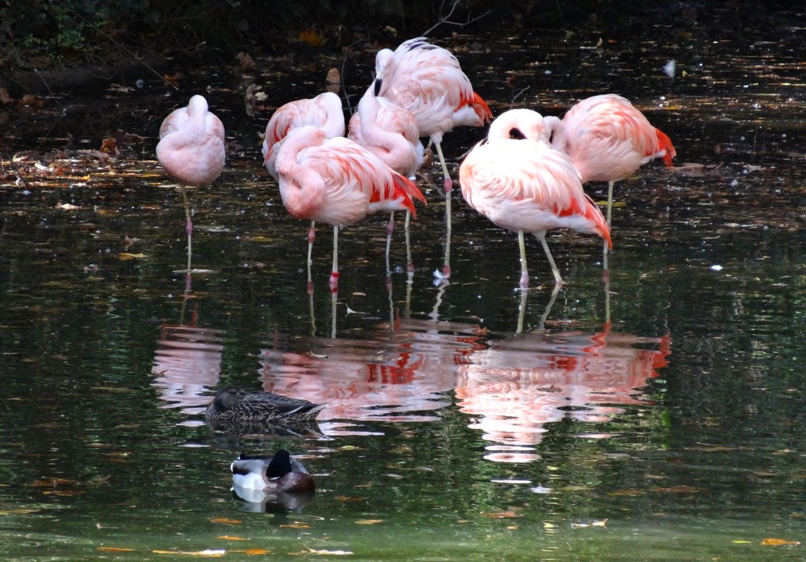 Chilean flamingo zoo