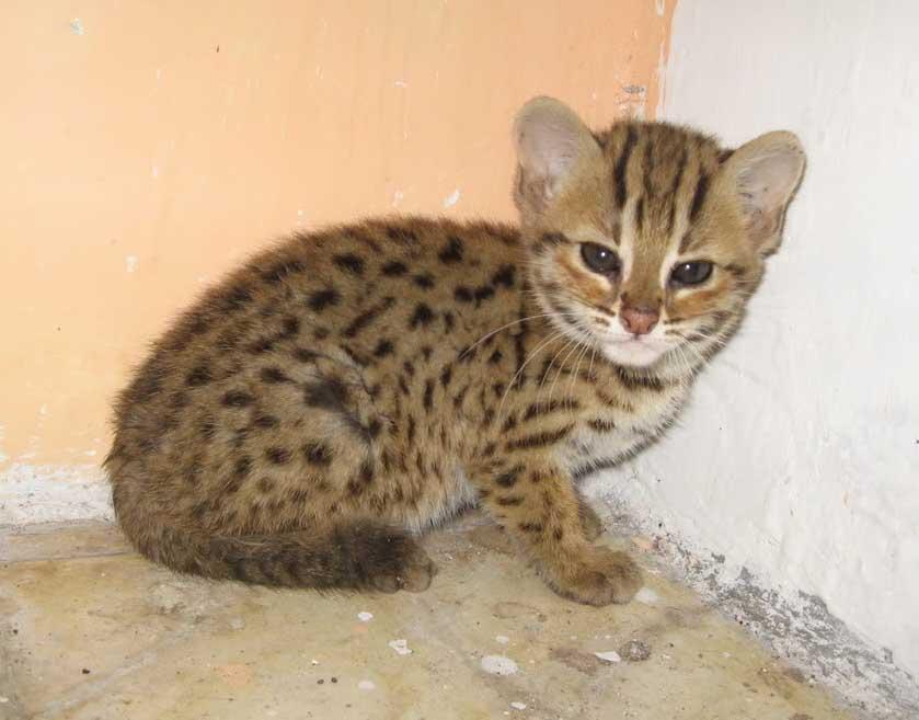 Foto Kucing Hutan Sang Leopard yang Lucu dan Imut ...