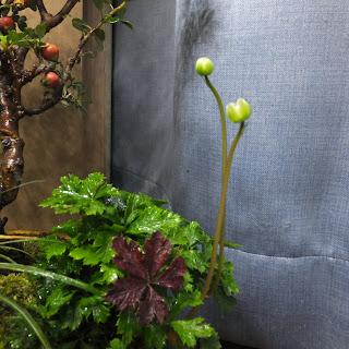 室内で育てている梅花黄蓮の蕾