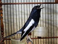 Burung Kicau - Jenis Burung Kicau Paling Mahal di Indonesia