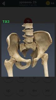 Схематическое изображение костей таза человека