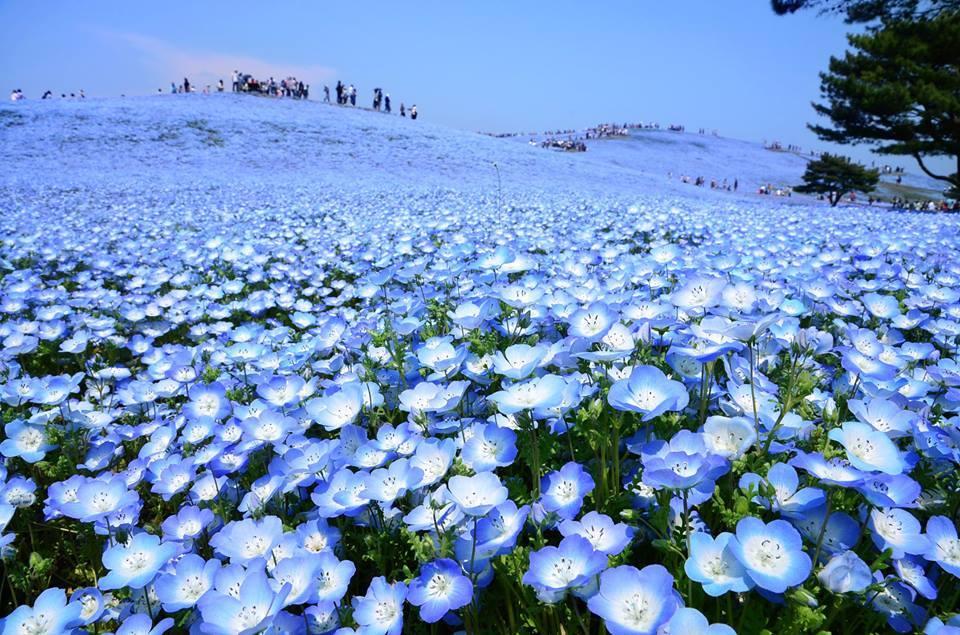 日本茨城縣日立海濱公園四季如畫! 春天尤其四月下旬至五月就有大片藍紫色粉蝶花花海。藍天下襯上藍紫色 ...