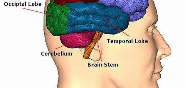d06be03f6 وينقسم سرطان الدماغ إلى نوعين رئيسيين؛ وهما سرطان الدماغ الأولي وسرطان  الدماغ الثانويّ، أو الانتشاري، فالأولي يحدث نتيجة لنمو خلايا دماغيّة، منها  أغشية ...