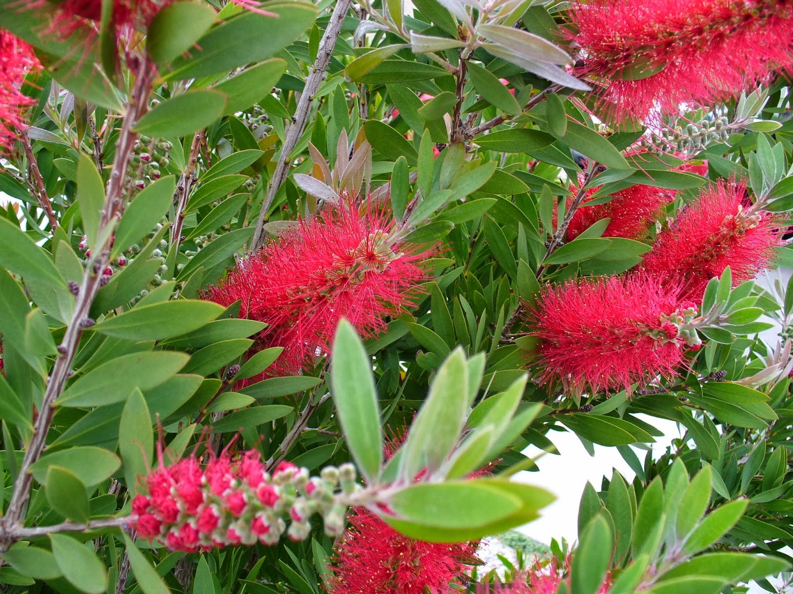 Red Bottle Brush Bush Flowers