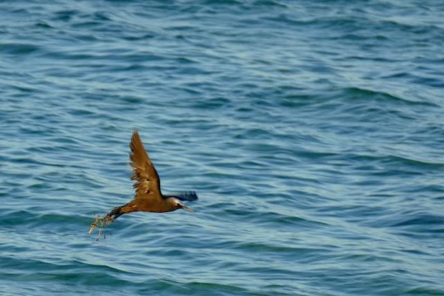 Vogel Black Noddy Tern Falle Samenstand Pisonia Tod verklebt Hindernis fliegen