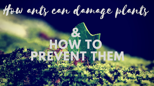 How Ants Can Damage Plants and How to Prevent them - Floriculture Care - House Plants